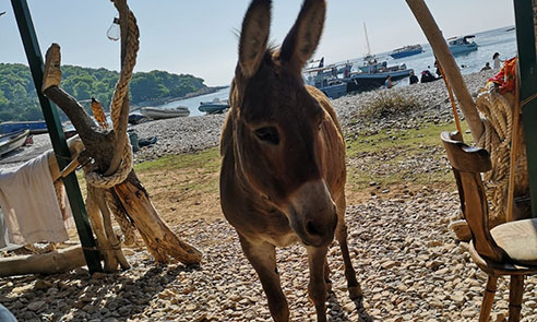Donkey on Budikovac island