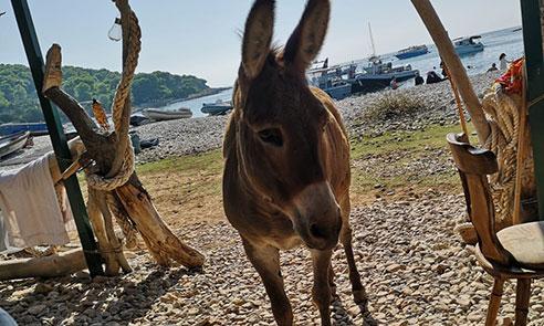 Donkey on Budikovac island